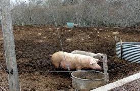 Porcs_1