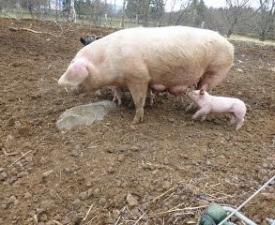 Porcs_4